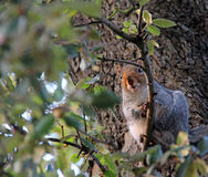 Neugieriges Eichhörnchen im Baum Stockbilder