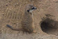 Neugieriges Erdmännchen Suricata suricatta. Meerkat, Cape Ground Squirrel or Gopher named is a desert mammal. Wild little rodent royalty free stock photos