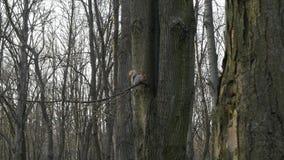 Neugieriges flaumiges Eichhörnchen sitzt auf einem Baumast im Park, isst eine Nuss und Blicke in die Kamera stock video