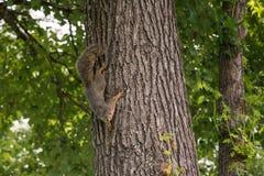 Neugieriges Fox-Eichhörnchen abwärtsgerichtet auf Baum-Stamm stockfoto