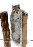 Neugieriges graues Eichhörnchen im Schnee Lizenzfreie Stockbilder