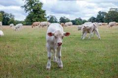 Neugieriges Kalb Junge Kuh, die Neugier in einem englischen agricult zeigt Lizenzfreie Stockfotografie