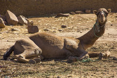 Neugieriges Kamel stockbilder