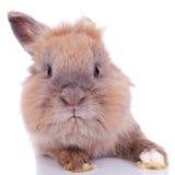 Neugieriges kleines braunes Kaninchen Lizenzfreies Stockfoto