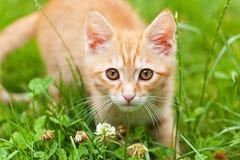 Neugieriges kleines rotes Kätzchen Lizenzfreie Stockbilder