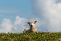 Neugieriges Lamm auf grüner Wiese Stockfoto