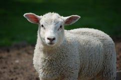 Neugieriges Lamm, das gerade voran schaut Stockbild