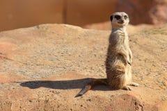 Neugieriges meerkat lizenzfreie stockfotografie