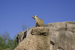 Neugieriges meerkat Stockfotos