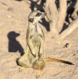 Neugieriges meerkat stockfoto