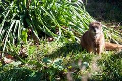Neugieriges meerkat, das im Gras sitzt Stockfotografie