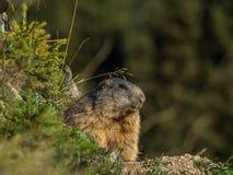 Neugieriges Murmeltier, das heraus auf den Alpen - 6 schaut Stockfoto