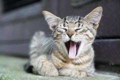 Neugieriges nettes wenig Kätzchenlächeln der getigerten Katze, gähnend stockbilder