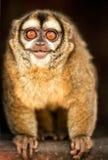 Neugieriges Owl Monkey Lizenzfreie Stockfotografie