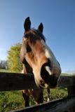 Neugieriges Pferd Stockfotos