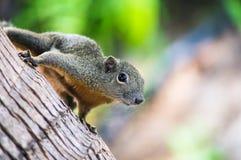 Neugieriges schlankes Eichhörnchen, das auf einem Baum, Malaysia sitzt Stockfotos