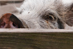 Neugieriges Schwein Stockfoto