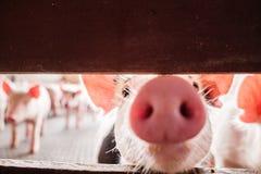 Neugieriges Schwein Lizenzfreie Stockfotos