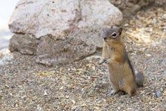 Neugieriges Streifenhörnchen Lizenzfreies Stockbild