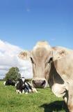Neugieriges Vieh Lizenzfreie Stockbilder