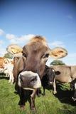 Neugieriges Vieh Lizenzfreies Stockfoto