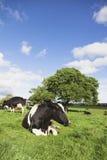 Neugieriges Vieh Stockbilder