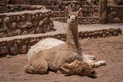 Neugieriges wachsames Babylama, das auf seiner Mutter liegt stockfotografie