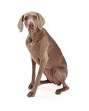 Neugieriges Weimaraner-Hundesitzen Stockbild
