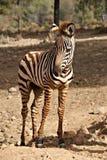 Neugieriges Zebrafohlen im Sommer lizenzfreie stockbilder