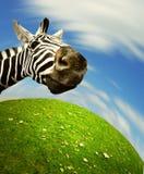 Neugieriges Zebragesicht, das die Kamera untersucht Lizenzfreie Stockbilder