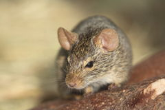 Neumann's grass rat Royalty Free Stock Images