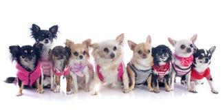 Neun Chihuahua Lizenzfreie Stockbilder