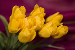 neun gelbe Tulpen Lizenzfreie Stockbilder