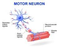 Neurônio de motor Diagrama do vetor Imagem de Stock