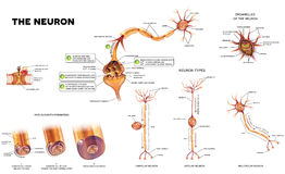 The neuron anatomy poster. Neuron detailed anatomy illustrations. Neuron types, myelin sheath formation, organelles of the neuron body and synapse Stock Photo