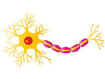 Neuron Cell Royalty Free Stock Images