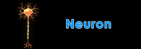 Neuron. A neuron is an electrically excitable cell that processes and transmits information through electrical and chemical signals. These signals between Stock Images