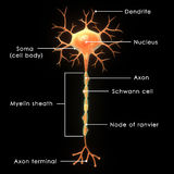 Neuron. A neuron is an electrically excitable cell that processes and transmits information through electrical and chemical signals Stock Photos