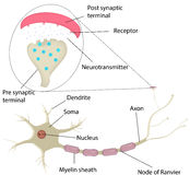 Neuron en Synaps Geëtiketteerd Diagram Royalty-vrije Stock Foto