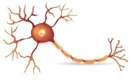 Neuron Stock Photography