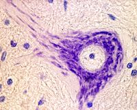 Neuron. Nissl bodies. Nissl bodies stained with cresyl violet. Motor neuron located in the ventral horn of the spinal cord Stock Image