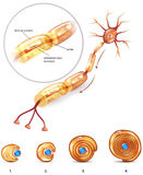 Neuron structure Royalty Free Stock Image