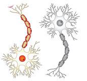 Neuron vector ilustration. Diagrammatic cross section of a generic neuron cell stock illustration