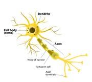 Neurona de motor, detallada y exacta, etiquetada Imágenes de archivo libres de regalías