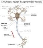 Neurona de motor, detallada y exacta, etiquetada vers. Fotografía de archivo
