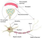 Neurona y diagrama etiquetado sinapsis Foto de archivo libre de regalías