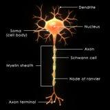 neurone illustration stock