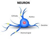 Neurone umano su un fondo bianco Fotografia Stock Libera da Diritti