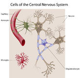 Neuronen en glial cellen van CNS Royalty-vrije Stock Foto's