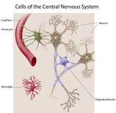 Neuroni e celle glial dello SNC Fotografie Stock Libere da Diritti
